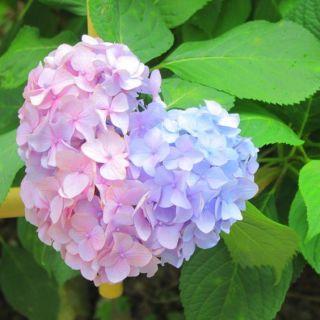 6月のお花といえば・・・1